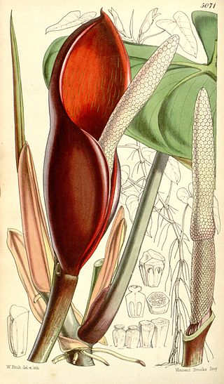 Philodendron_erubescens