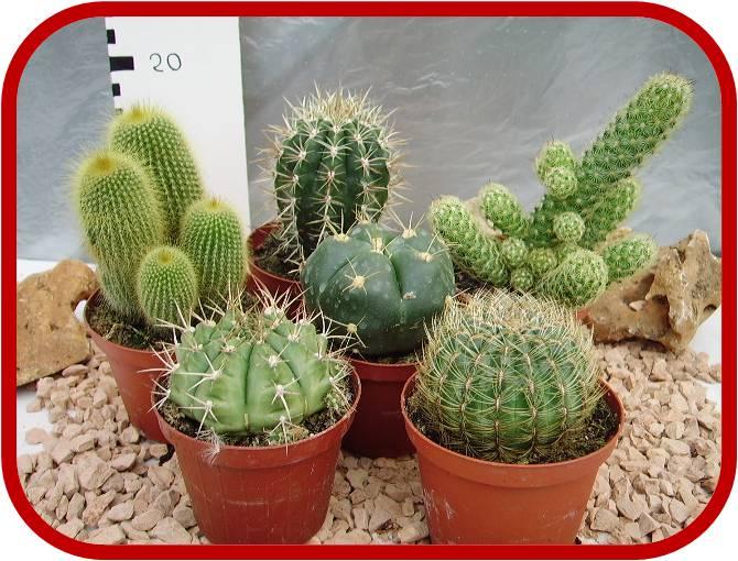 Piante grasse e cactus introduzione e schede per la for Foto piante grasse particolari