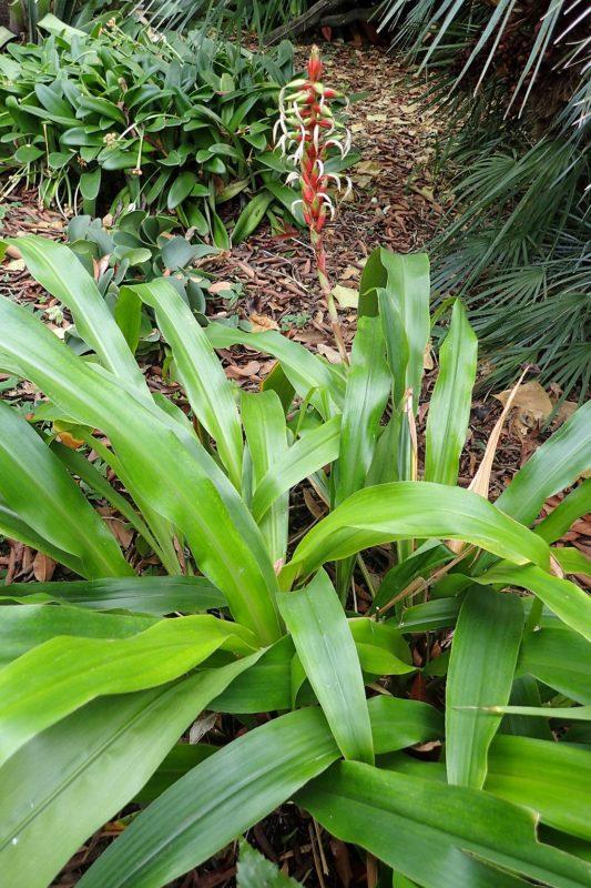 Pitcairnia maidifolia