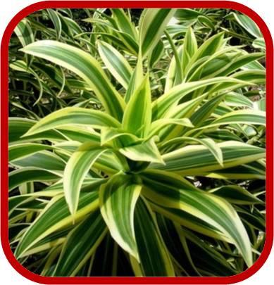 Pleomele reflex dracaena reflexa consigli coltivazione - Sempreverde da giardino ...