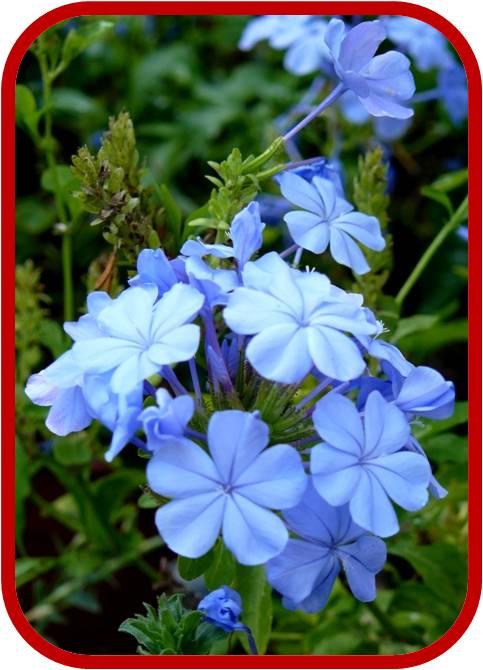 Plumbago capensis consigli coltivazione e cura - Nomi di piante da giardino ...