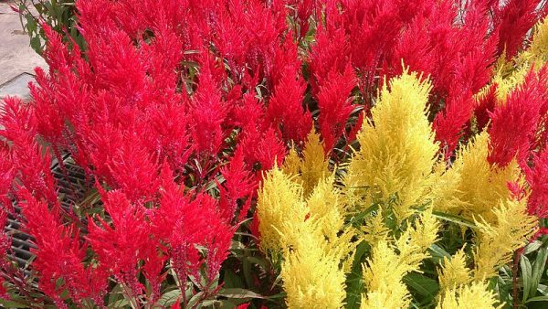 varietà celosia argenta plumosa