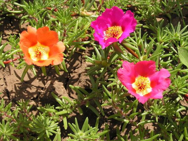 Particolare del fiore della Portulaca Grandiflora