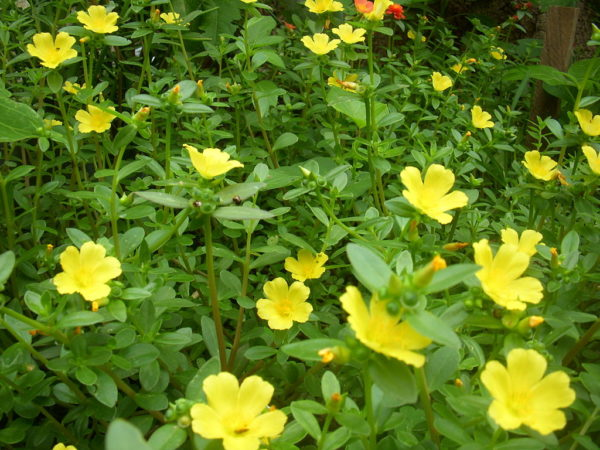 Portulaca Oleracea in giardino