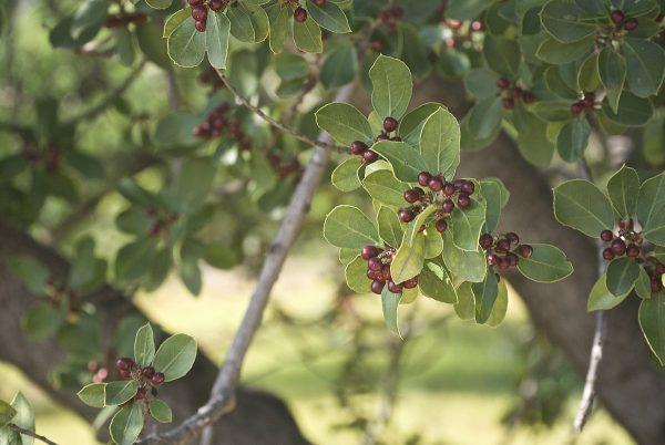 Alaterno (Rhamnus alaternus)