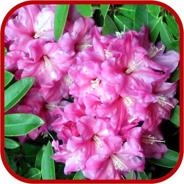 Azalea consigli coltivazione e cura - Azalea foglie ...