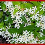 Rincospermo (Rhyncospermum Jasminoides)