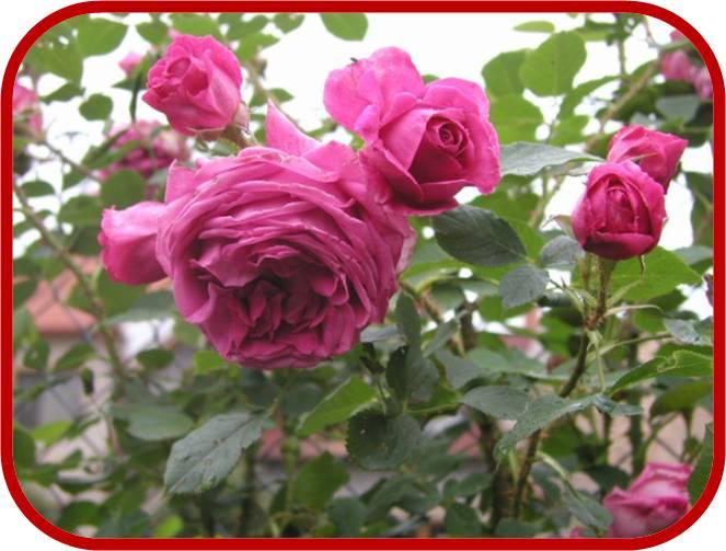 Rose a cespuglio consigli coltivazione e cura for Piante da cespuglio