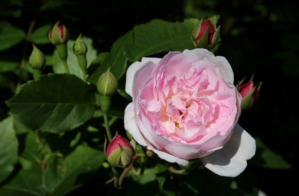 rose antiche noisette