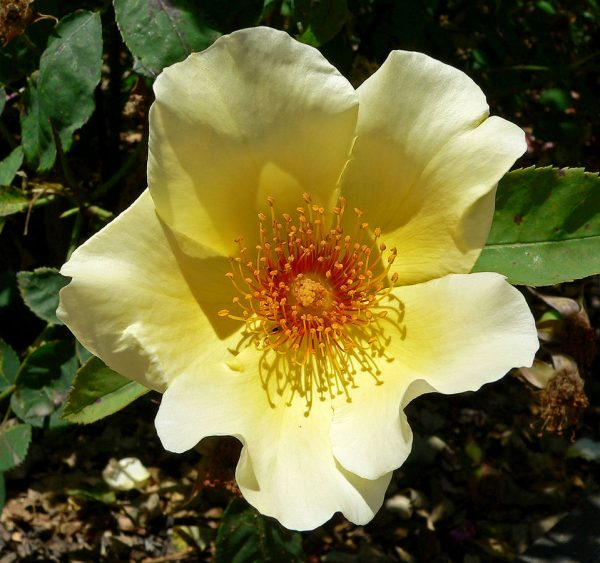 Rosa Golden Wings