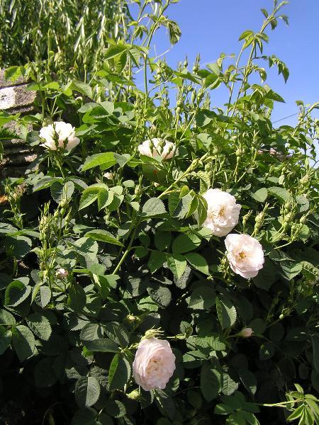 rose antiche alba Rosa Alba