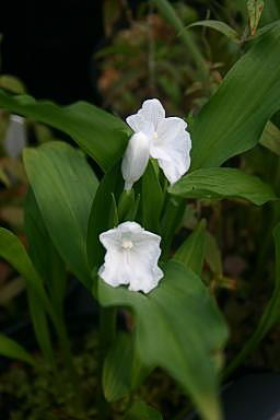 Roscoea nepalensis