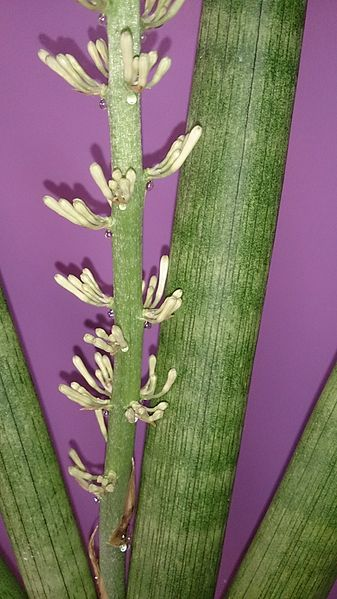 Sansevieria cylindrica: fiori