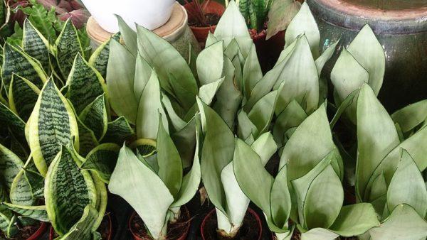 sansevieria trifasciara varietà moonshine