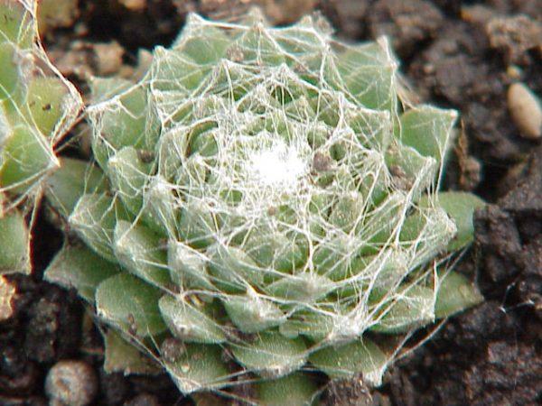 sempervivum tomentosum