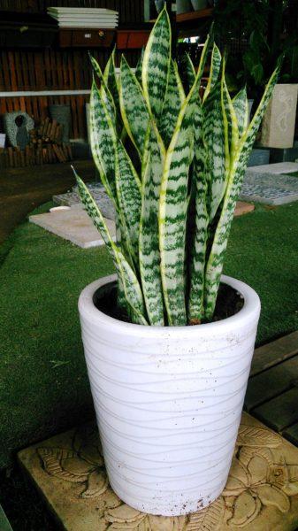 sansevieria trifasciata coltivazione in vaso
