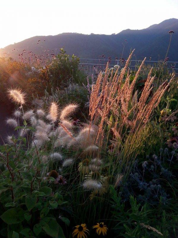 Spighe di graminacee che riflettono la luce del tramonto