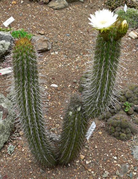 cactus chilensis