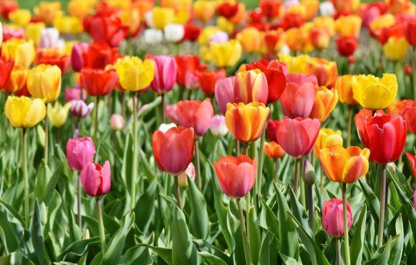 Cosa fiorisce ad aprile? Tulipano