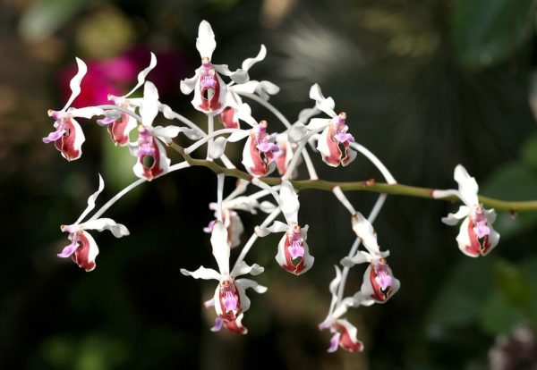 orchidea vanda lamellata