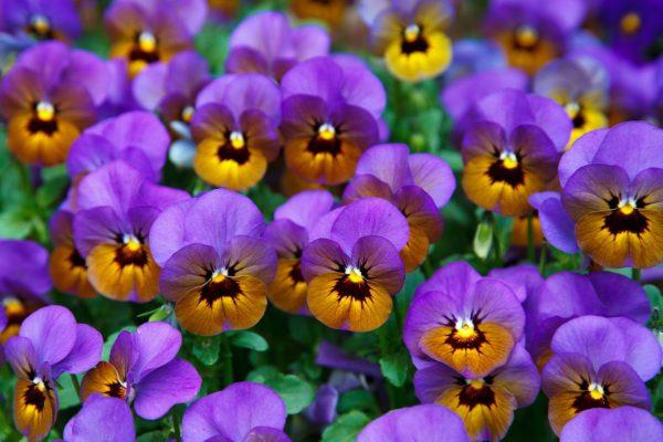Cosa fiorisce ad aprile? Viola del Pensiero