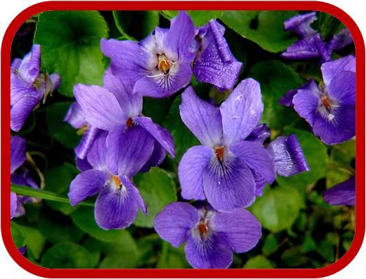 Viola mammola consigli coltivazione e cura for Pianta rampicante con fiori viola a grappolo