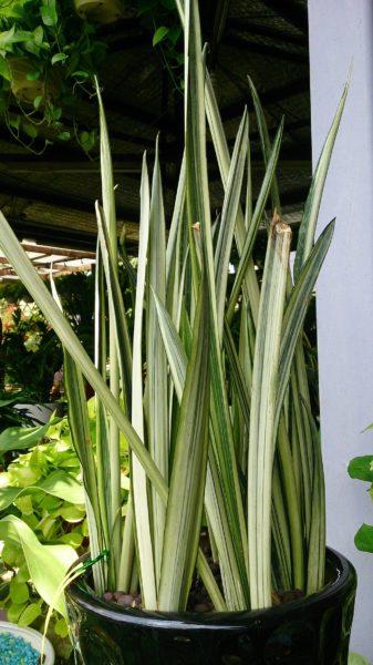 Sansevieria trifasciata Bantel's Sensation