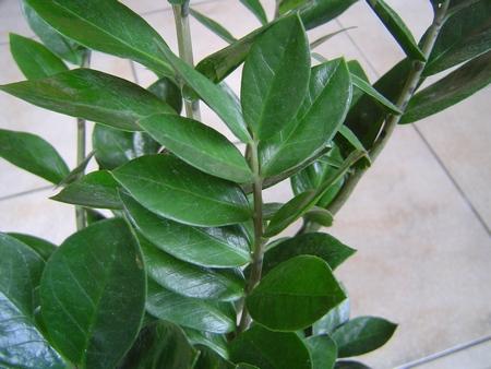 Le piante da appartamento impariamo a curarle nel modo for Zamioculcas cura