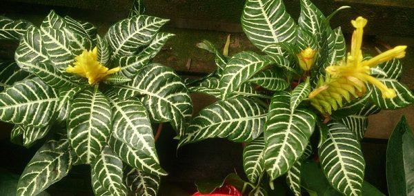 coltivazione aphelandra squarrosa