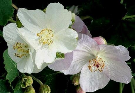 abu-vitifolium