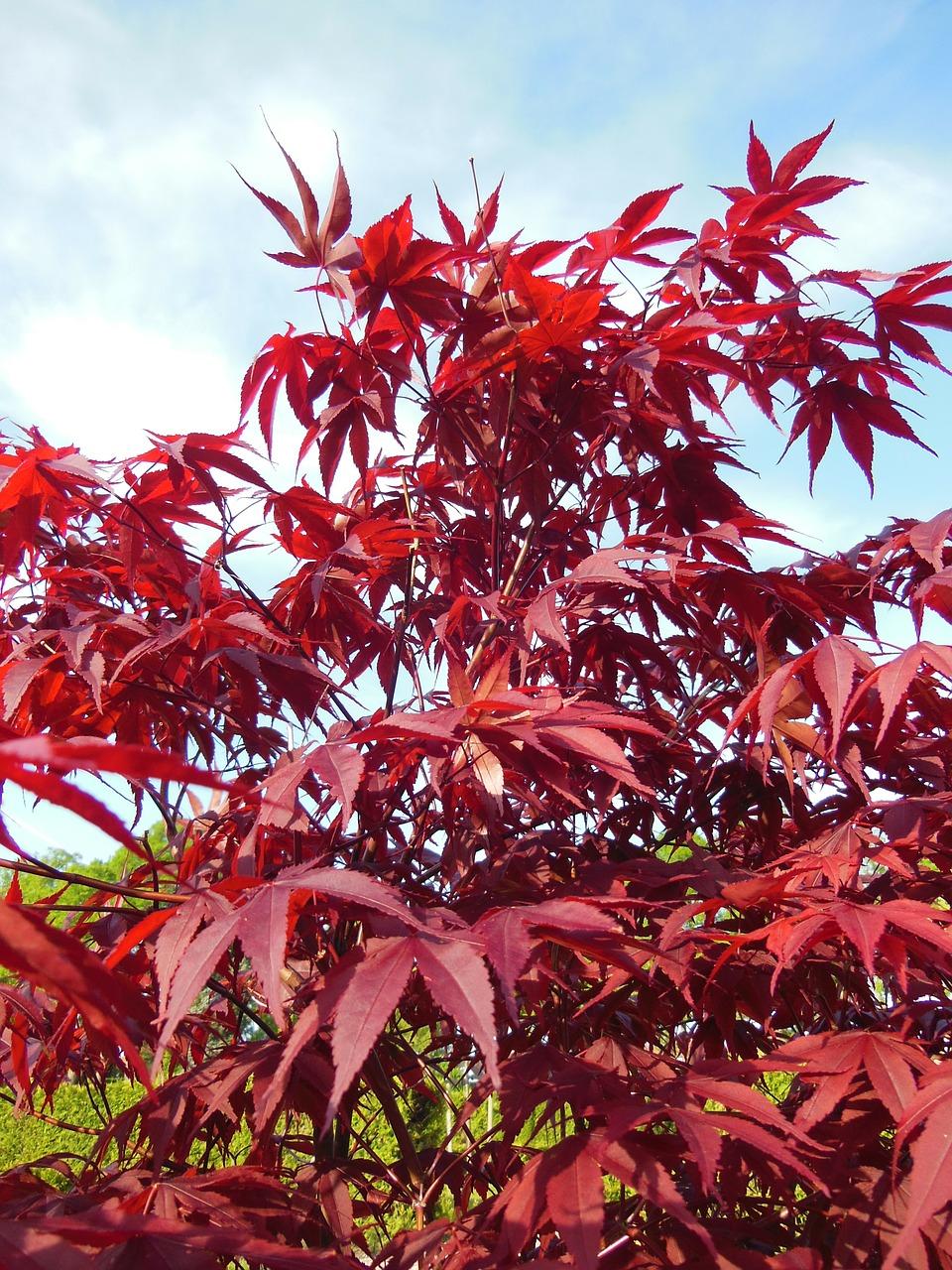 Perchè Acero Rosso Diventa Verde acero: consigli, coltivazione e cura