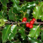 Le piante di Natale