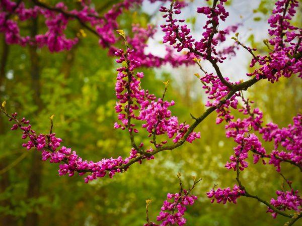 Piante mediterranee da giardino: Albero di Giuda