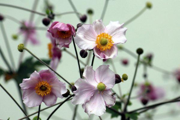 Cosa fiorisce a settembre? Anemone giapponese