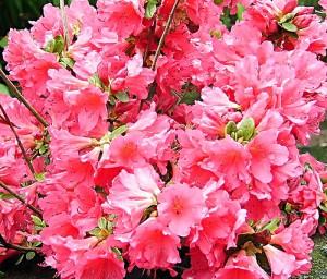 Azalea japonica consigli coltivazione e cura - Azalee da esterno ...