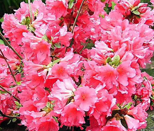 Azalea japonica consigli coltivazione e cura for Cura azalea