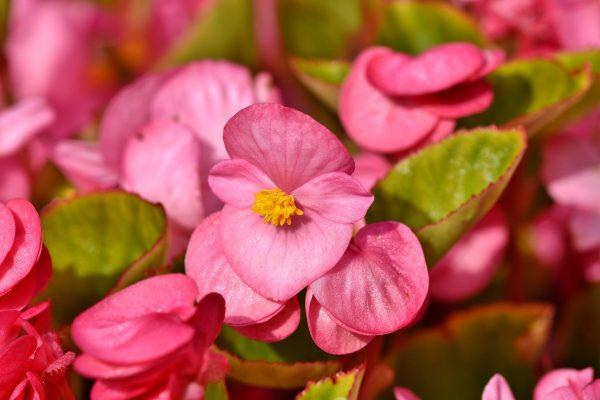 Cosa fiorisce ad Agosto? Begonia