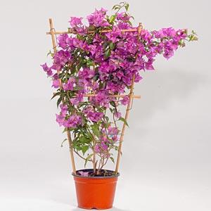 Bouganvillea consigli coltivazione e cura for Bouganville in vaso