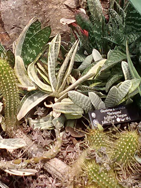 Gasteria brevifolia 'variegata'