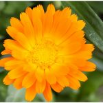Fiori e piante dalla A alla Z. Agrumi, Anemone, Astro, Calendula, Coreopeside, Crisantemo
