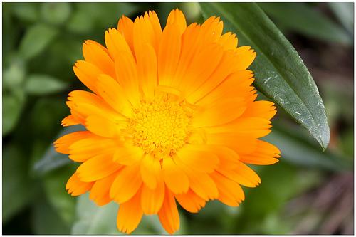 Fiori e piante dalla a alla z agrumi anemone astro for Fiori dalla a alla z