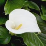 Zantedeschia Aethiopica (Calla)