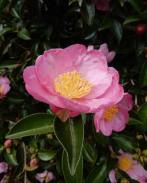 Camellia camelia consigli coltivazione e cura for Camelia pianta