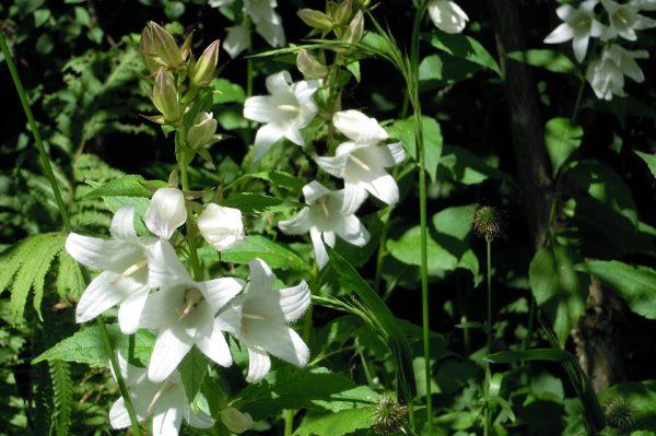 campanula bianca