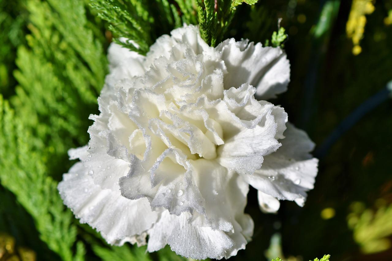Coltivare Fiori Da Recidere garofano: consigli, coltivazione e cura del dianthus