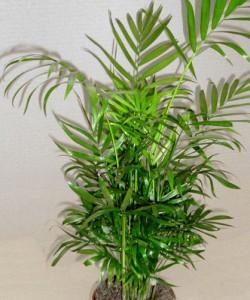 Chamaedorea consigli coltivazione e cura - Piante da appartamento resistenti e decorative ...