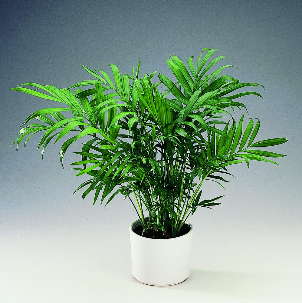 Albero Della Fortuna Pianta chamaedorea: consigli, coltivazione e cura delle piccola palma