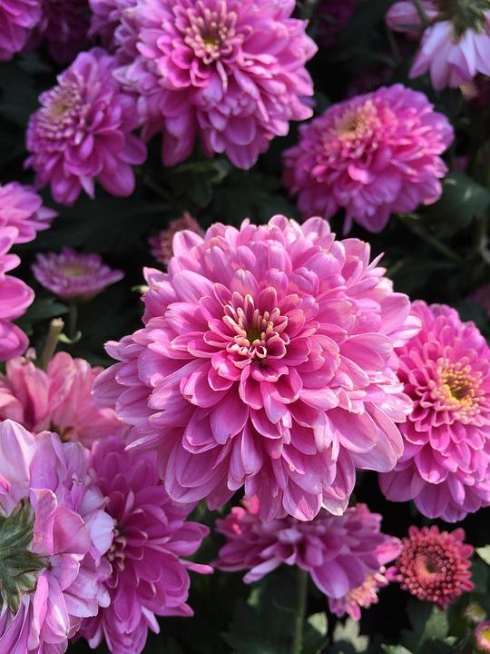 chrysanthemum-1133181_960_720