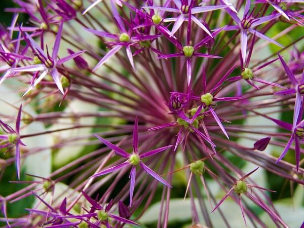 cipolla ornamentale