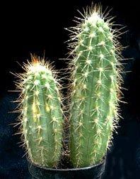 cleistocactus-potosinus